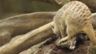 Meerkat diging video