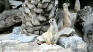 Meerkat (Suricate) family video