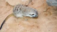 Meerkat searching for food video