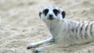 Meerkat suspecting video