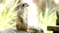 Meerkat video