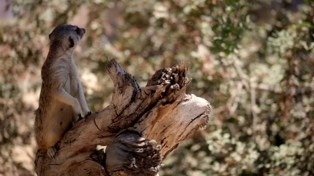 Meerkats looking around standing on log video