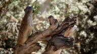 Meerkats on guard video