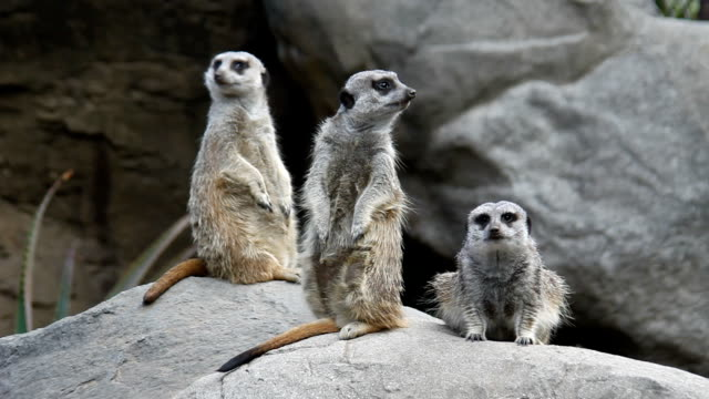 Meerkats on guard. video