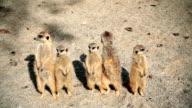 HD: Meerkats Posing video