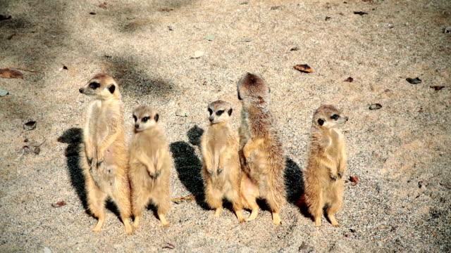 HD: Meerkats Posing video
