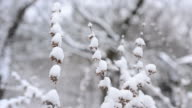 Melissa officinalis. Snow falls in winter on lemon balm video