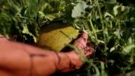 Melon on the organic plantation video