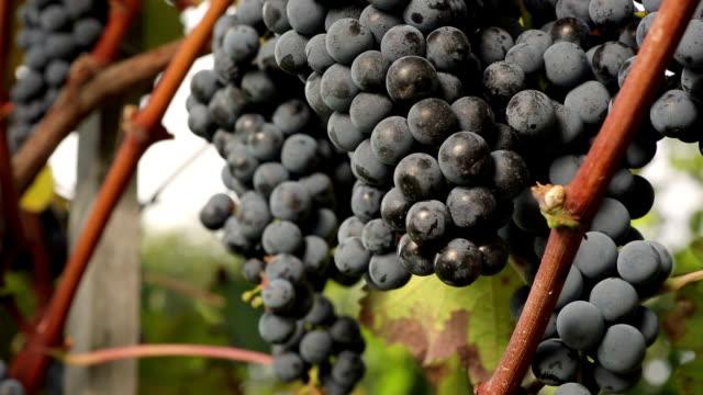 merlot grapes detail video