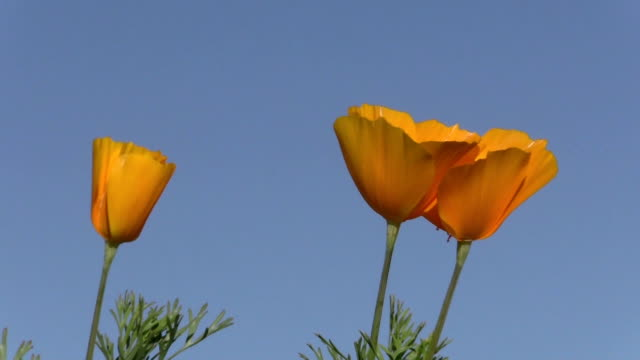 Mexican Gold Poppies video