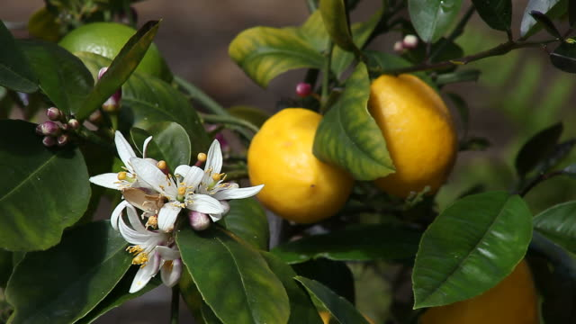 Meyer lemon tree video
