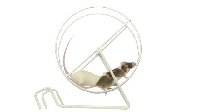 Mice running in a wheel video