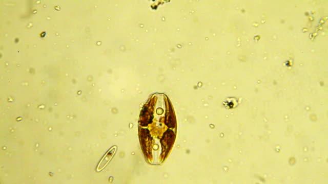 Micro organism: diatom video