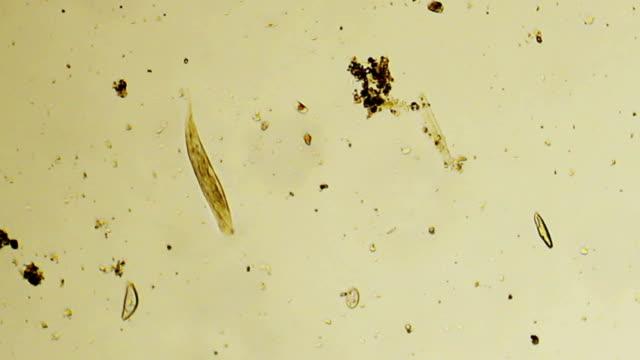 Micro organism: Euglena video