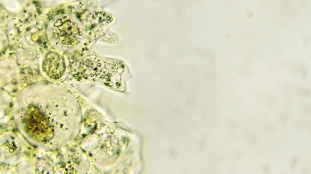 Microorganism - Amoeba (copy space) video