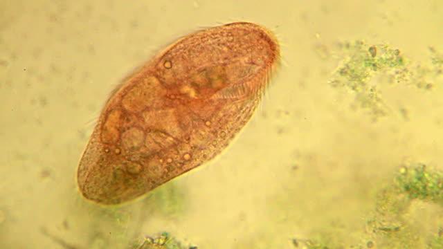 Microorganism - ciliate video