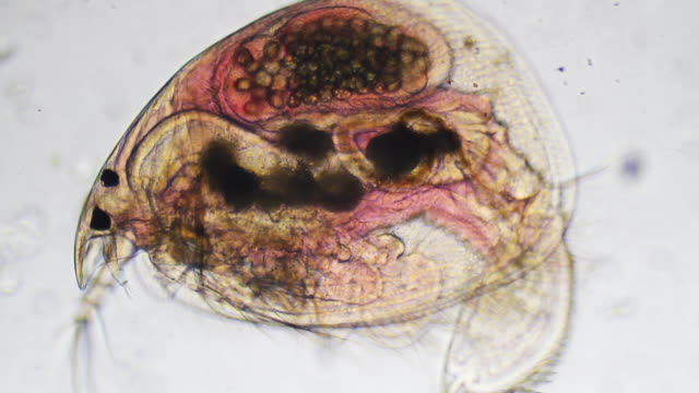 Microorganism - Daphnia video