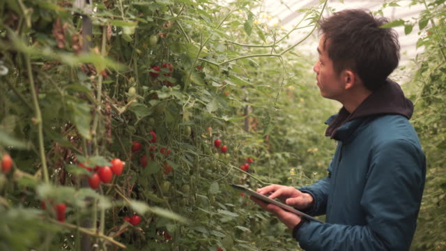 Mid Adult farmer working in a greenhouse video