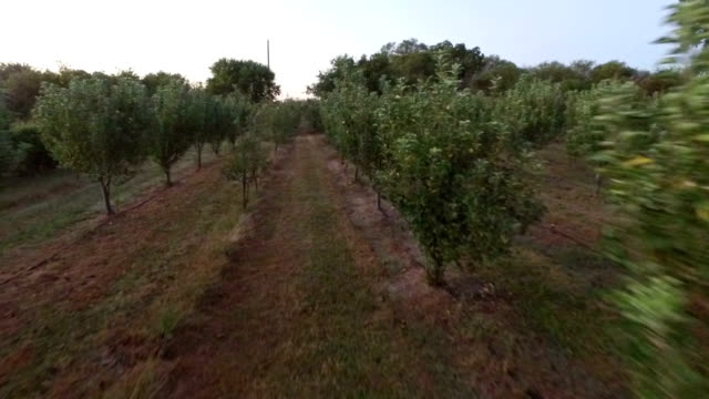 Mid-air flight down row of remote peach orchard video