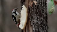 Middle spotted woodpecker while feeding with seeds video