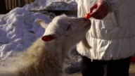 A middle-aged woman feeds a young goat. Woman forced  the goat stand on his hind legs. She feeds him a carrot. Goat loves carrots. video