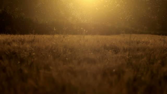 midges, mosquitoes at dusk video