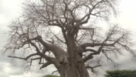 CLOSE UP: Mighty African baobab tree canopy without leaves on sunny evening video