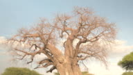 CLOSE UP: Mighty African baobab tree canopy without leaves on sunny summer day video