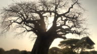 CLOSE UP: Mighty baobab tree canopy without leaves in Tarangire National Park video