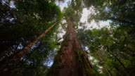 LA Mighty tree in the rainforest video