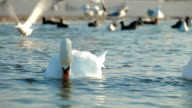 Migrating Mute Swans video