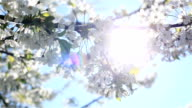 Mild early morning sun shining through white cherry blossoms blooming on branches of tree with a bee flying around collecting pollen from flowers video