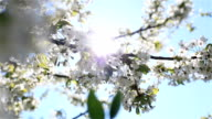 Mild early morning sun shining through white cherry flowers blossoms blooming on branches of a tree at light blue sky background - pan to the right and to the left video