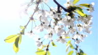 Mild early morning sun shining through white cherry flowers blossoms blooming on branches of a tree trembling in breeze wind at light blue sky background - close up video