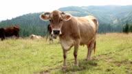 Milk cow on grassland video