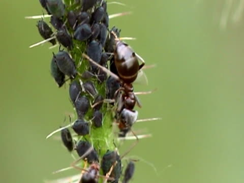 Milking aphids NTSC video