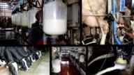 Milking Cows On Dairy Farm video
