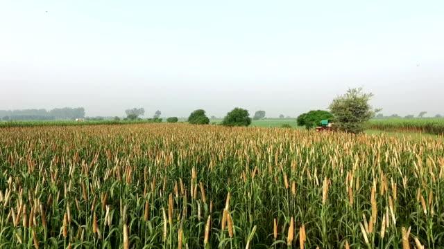 Millet crop Elevated view video