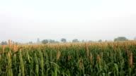 Millet crop video