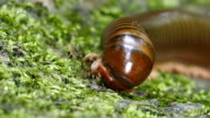 Millipede in tropical rain forest. video