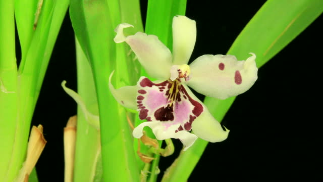 Miltonia orchid Blooming 4K video