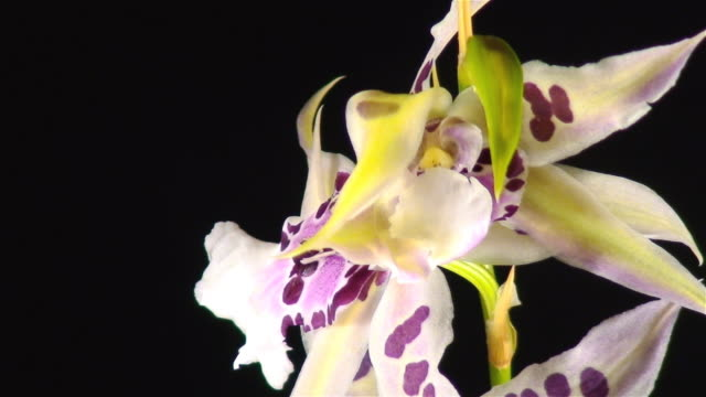 Miltonia orchid blooming video