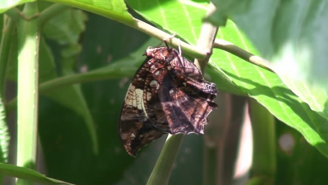 Mimetic butterfly video