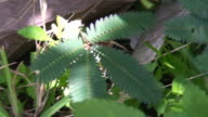 Mimosa leafs retracting video