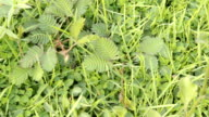 Mimosa pudica sensitive video