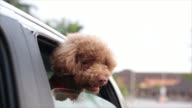 Miniature Poodle enjoy video