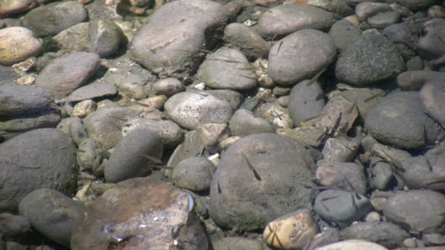 Minnows playfully swim in a shallow sunlit pond (High Definition) video