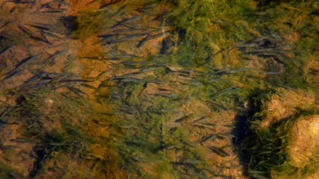 Minnows Swimming in a Pond video