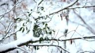 Mistletoe in snow on tree branch in forest video