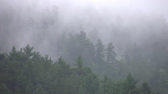 Misty trees. video